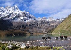 A herd of yak crossing Gokyo Lake,Nepal