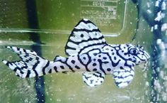 Aquariums Provide Relaxing Entertainment Owning a fish aquarium can be a very relaxing hobby. Tropical Freshwater Fish, Tropical Fish Aquarium, Tropical Fish Tanks, Freshwater Aquarium Fish, Saltwater Aquarium, Aquarium Fish Tank, Cichlid Aquarium, Kids Aquarium, Saltwater Tank