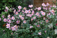 Japanse Anemoon; Anemone japonica - 80-100 cm hoog, bloei in aug/sept, zon en schaduw, zaait zichzelf makkelijk uit