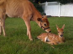 18 Cows You Can't Believe Are Even Real ;This cautious fawn friend.