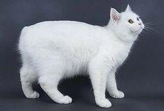 White Manx Cat Looks like my dear Snow kitty.