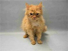 MAYA – A1104999 - 4mosF ORANGE, DOMESTIC LH MIX - 4 MONTH OLD MAYA ISN'T FEELING WELL AND NEEDS RESCUE!