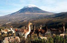 Las vicunas de Arequipa