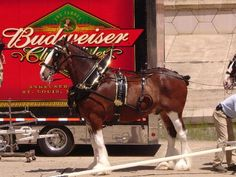 Budweiser Clydesdales | Melissaswaz12's Blog