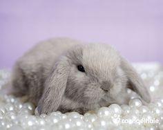 Jewel (Minilop Rabbit) - Resting on pearls, Jewel's the prettiest of girls