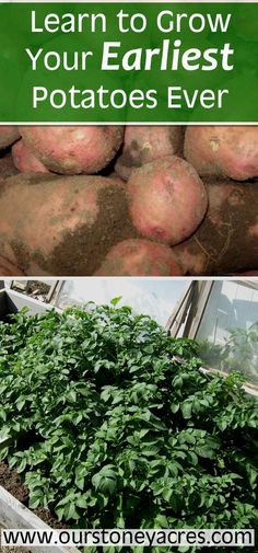 A simple cold frame is all you need to to have early potatoes growing in your garden in the spring. You can plant early potatoes in mid March and they will be ready in June. Use this gardening method for your earliest potatoe crop ever!