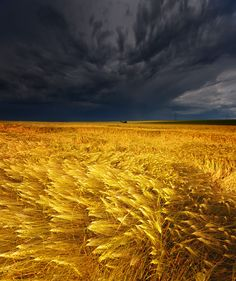 stormy skies and golden fields.