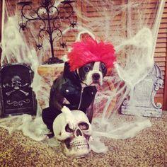 Boston terrier  Louie my punk rocker
