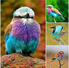 Lilac Breasted Roller Bird Lilac Breasted Roller, Call Of The Wild, Birds, Animals, Beautiful, Piercing, Tattoo, Pictures, Image