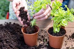 Discover how to divide supermarket herbs like parsley, basil, mint and more in this handy step-by-step guide, from the experts at BBC Gardeners' World Magazine.