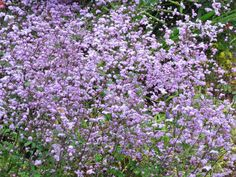 Thalictrum 'Splendide' (Meadow Rue) Shade Tolerant Plants, Rabbit Garden, Border Plants, Peonies Garden, Buy Plants, Types Of Soil, Flowers Perennials, Garden Inspiration, Garden Ideas