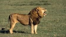 10 Cool Reasons to Save Lions