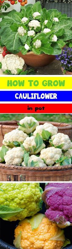 Growing-Cauliflower-In-Containers-By-Urban-Gardening-Ideas