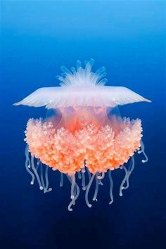 What Do Jellyfish Eat? Jelly fish are beautiful creatures. These creatures eat meat and mate constantly. Beautiful Sea Creatures, Deep Sea Creatures, Animals Beautiful, Under The Water, Under The Sea, Underwater Creatures, Underwater Life, Medusa, Water Animals