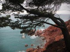 Pine-tree.-Crna-Gora.-Sutamore.-Montenegro. Saharova.com