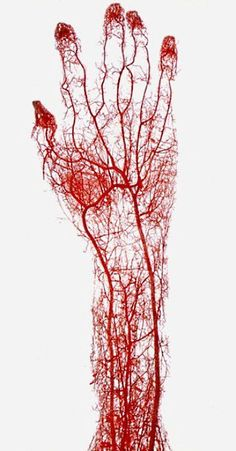 © Gunther von Hagens acid-corrosion cast of the arteries of the adult human hand