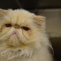 Philadelphia, Pennsylvania - Persian. Meet squeeshy, a for adoption. https://www.adoptapet.com/pet/20671637-philadelphia-pennsylvania-cat