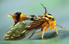 Heteronomous maculatus  ハチに擬態する生き物は多いですね