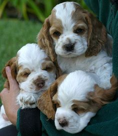 Dog Breeds Cocker Spaniel Puppies by the handful - You'll love these cute puppy pictures. Perro Cocker Spaniel, American Cocker Spaniel, Clumber Spaniel, Cute Puppies, Cute Dogs, Baby Animals, Cute Animals, Sweet Dogs, Pets