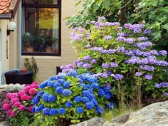 If you ever wished for a dreamy hydrangea garden, you'll love these simple tips for growing healthy, beautiful hydrangeas. From planting to pruning, watering, and fertilizing, you'll have everything you need. #hydrangeas #lanscaping #hydrangeaflowers #pinkhydrangeas #bluehydrangeas #purplrhydrangeas #romanticflowers Rooting Hydrangea Cuttings, Hydrangea Bush, Hydrangea Care, Hydrangea Not Blooming, Hydrangea Flower, Purple Hydrangeas, Large Plant Pots, Large Plants, Geraniums Garden