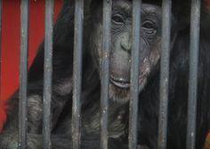 Chimpanzee Tammy in cage at Missouri Primate Foundation