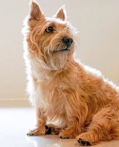 Doin' the Cairn sit Norfolk Terrier, Cairn Terriers, Cutest Dogs, Cairns, Little Dogs, I Love Dogs, Cute Animals, Puppies, Pictures