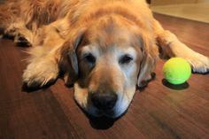 Golden Retriever and his love for his ball.