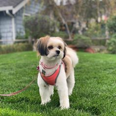 Cute Pomeranian mix dogs are the favorite choice of pets, and there are so many of these mixed breeds to choose so with this article, your search will be a lot easier. Toy Pomeranian, Pomeranian Facts, Pom Dog, Dog Training Techniques, Shih Tzu Mix, Aggressive Dog, Small Puppies, Dog Show, Dog Life