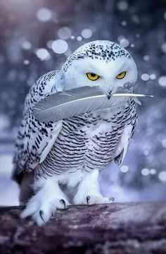 Snowy Owl Holding a Feather in Its Beak.
