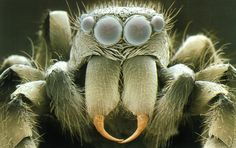 Sem Of Head Of Zebra Jumping Spider, Salticus Sp. Photograph - Sem Of Head Of Zebra Jumping Spider, Salticus Sp. Microscopic Photography, Macro Photography, Levitation Photography, Winter Photography, Abstract Photography, Spider Face, Spider Webs, Electron Microscope Images, Microscopic Images