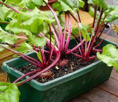 Beets in pots