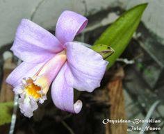 Orquídea: Laelia jongheana