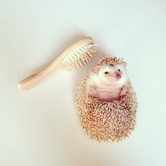 favorite instagram: @darcytheflyinghedgehog {is this not the cutest thing you've ever seen?}