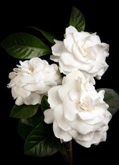 Gardenias !!! las amo y son mis preferidas por su belleza y aroma,