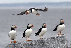 A Puffin Colony's 40-Year Journey Back To Maine | Here & Now