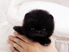 Available Teacup Pomsky Puppies! We Deliver The Teacup Puppies In The World. Shop Our Online Teacup Puppy Boutique. Buy A Teacup Pomeranian. Red Teacup Poodle For Sale. Blue Frenchie Puppy Ready Now. Teacup Pomeranian Puppy, Micro Teacup Pomeranian, Teacup Puppies For Sale, Tiny Puppies, Cute Dogs And Puppies, Husky Puppy, Tiny Dogs For Sale, Teacup Poodle Puppies, Teacup Dogs