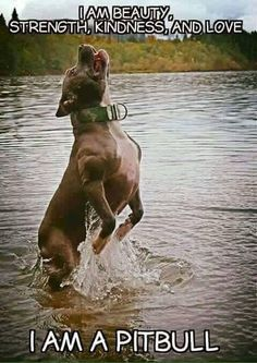 Uplifting So You Want A American Pit Bull Terrier Ideas. Fabulous So You Want A American Pit Bull Terrier Ideas. Beautiful Dogs, Animals Beautiful, Cute Animals, Animals Dog, African Wild Cat, Bred Pit, Bull Terrier Dog, Bull Dog, Terrier Mix