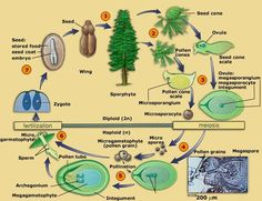 cycads and ginkgos - Google Search