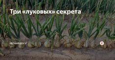 Часто можно слышать, как огородники жалуются на то, что не могут вырастить крупный лук. Они грешат на качество севка, болезни и вредителей. Не все знают, что лук — культура не простая и тоже имеет свои, «луковые» секреты. Рыхлая почва Это секрет №1. Лук очень любит рыхлую почву, очень рыхлую. Потому плодородный суглинок нужно непременно разбавлять. Под перекопку вносится по ведру песка и перегноя