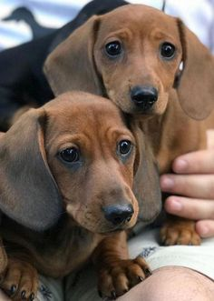 """Find out more details on """"Dachshund Puppies"""". Have a look at our web site. Dachshund Funny, Dachshund Breed, Long Haired Dachshund, Dachshund Love, Daschund, Cute Puppies, Cute Dogs, Doxie Puppies, Popular Dog Breeds"""