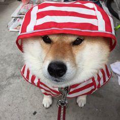 柴犬ハナ @87shiba87 ハナちゃん散歩行かないってよ。
