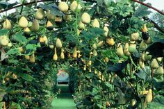 Harpur Garden Images Ltd :: Helmingham Hall. Jerry Harpur Gourds squash climbing over metal arch tunnel above grass path leading to blue bench seat seating as focal point vegetable deciduous climber Gourds squash climbing over metal arch tu Allen Smith, Garden Images, Garden Trellis, Permaculture, Garden Projects, Bird Houses, Vegetable Garden, Garden Landscaping, Gardening Tips