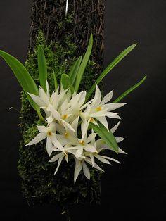 Dendrobium masarangense - Google 搜尋