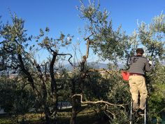 Collecting olives in the Tuscan hills
