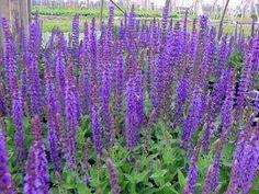 Vijver en Tuincentrum Pelckmans: Salvia nemorosa 'ostfriesland'