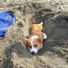 From @lunabearcorgi: Step 1. Dig hole. Step 2. Lay in hole. #cutepetclub [source: http://ift.tt/2jsbNWb ]