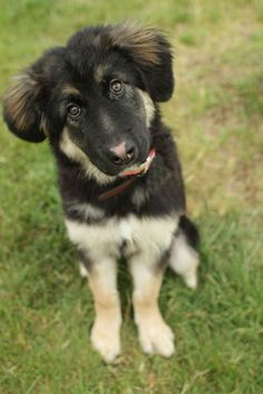 border collie and german shepherd mix.
