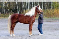 3-years-old Finnhorse stallion Tihuri
