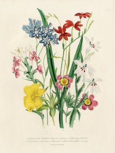 Loudon Botanical Bulb Prints 1841