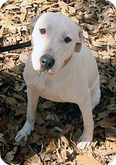 Pictures of Lillian a Pit Bull Terrier/American Bulldog Mix for adoption in Tucker, GA who needs a loving home.